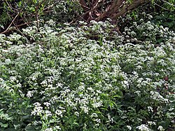 River Ching footpath 10, Cow parsley Anthriscus sylvestris, South Chingford, London, England.jpg