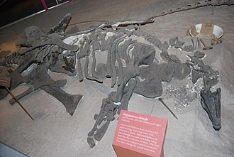 Stegosaurus - Type specimen of S. stenops on display in 2008 at the National Museum of Natural History.