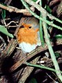 Robin among thorns (Erithacus rubecula) - geograph.org.uk - 539617.jpg