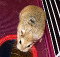 Roborovski hamster.jpg