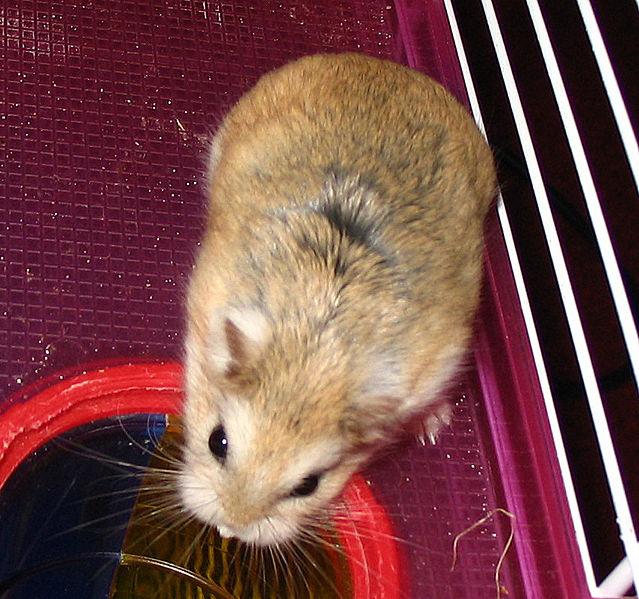 Ficheiro:Roborovski hamster.jpg