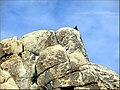 Rock Climber, Joshua Tree NP 4-13-13b (8654766999).jpg