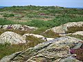 Rock outcrops, ling and gorse east of Amlwch Port - geograph.org.uk - 1411259.jpg