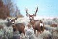 Rocky Mountain mule deer doe and buck (20471585031).jpg