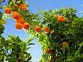 Ronda 08 Orange Tree (4579322771).jpg