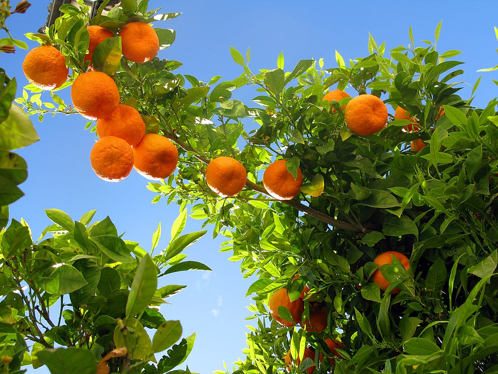 Orange Tree Wallpaper Orange tree wallpaper orangeOrange Tree Wallpaper