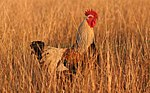 Rooster04 adjusted.jpg