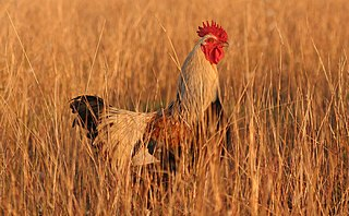 A rooster in the grass