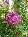 Rosa 'Perennial Blue' 1.jpg