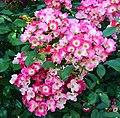 "Rosa ""American Pillar"". 04.jpg"