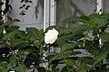 Rosa Avalanche 1zz.jpg