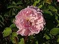 Rosa Mary Rose 2018-09-21 1428.jpg