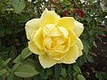 Rosa mellow yellow.jpg