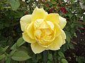 Rosa mellow yellow.jpg