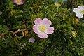 Rosa rubiginosa kz4.jpg