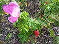 Rosa rugosa L1.jpg