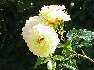 ADR rose - Image: Rosa sp.254