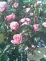 Rosales - Rosa cultivars 14 - 2011.07.11.jpg