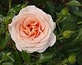 Rosarium Baden Rosa 'Bengali' Kordes 2011 01.jpg
