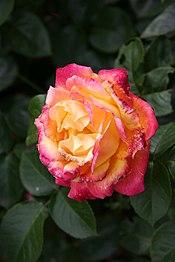 Rose Pullman Orient Express 20070601.jpg