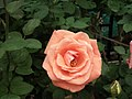 Rose from Lalbagh flower show Aug 2013 8537.JPG