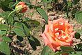 Rose hybrid.jpg