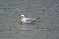 Ross's Gull (Rhodostethia rosea) 1.jpg