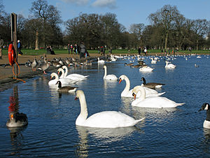 Round Pond (London) - Swans and Canada Geese on the Round Pond