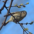 Ruby-crowned Kinglet (5644057355).jpg