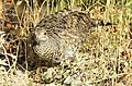 Ruffed grouse.JPG