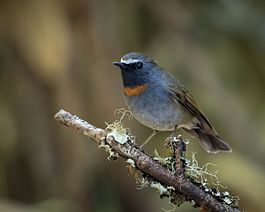 Rufous-gorgeted Flycatcher.jpg