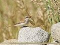 Rufous-tailed Shrike (Lanius isabellinus) (46199121712).jpg