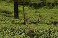 Rufous babbler (Argya subrufa)from Anaimalai hills DSC8002.JPG