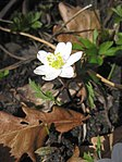 Ruhland, Grenzstr. 3, Weißes Buschwindröschen im Garten, blühende Pflanze, Frühling, 01.jpg