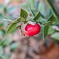 Ruscus aculeatus in Aveyron (25).jpg