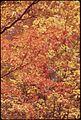 SUGAR MAPLE FRAMED AGAINST YELLOW BIRCH TREES IN THE ADIRONDACK FOREST PRESERVE - NARA - 554727.jpg