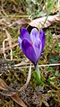 Saffron - Crocus vernus 29.jpg