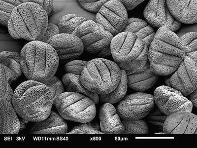 Scanning electron microscopy image of sage pollen