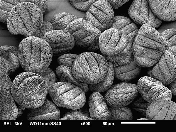 Sage pollen.jpg