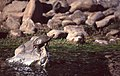 Saharan Pond Turtles (Mauremys leprosa saharica) (29532558567).jpg