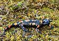 Salamandra salamandra Saarland 010.jpg