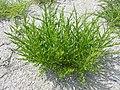 Salicornia europaea.JPG
