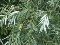 White Willow foliage; note white undersides of leaves