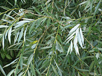 White Willow foliage; note white undersides of...