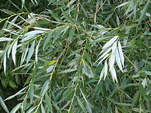 Salix alba leaves.jpg