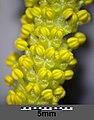 Salix alba sl11.jpg