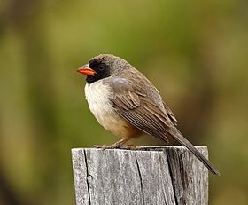 Saltator atricollis - Black-throated saltator.jpg
