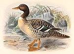 Salvadorina waigiuensis 1895.jpg