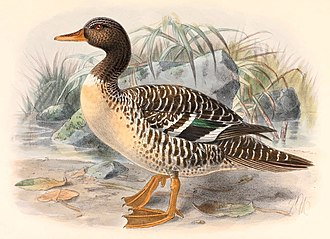 Delta Upsilon - Image: Salvadorina waigiuensis 1895