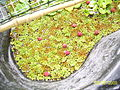 Salvinia auriculata (butterfly fern).JPG